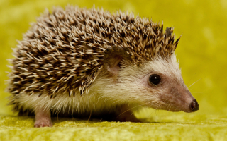 Hedgehog-Photos