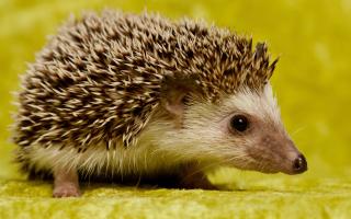 Hedgehog-Photos